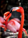 Pink flamingo portrait. On bacxkround with blurred flamingos Royalty Free Stock Images