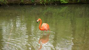 Pink flamingo posing in pond water royalty free stock photography