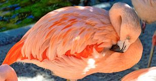 Pink Flamingo Preening Feathers at Sunken Gardens royalty free stock photo