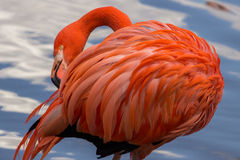 Pink flamingo preening its feathers on the pond Stock Image