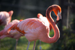 Pink Flamingo Preening. A flamingo stands in the sun Stock Image