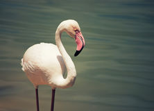 Pink Flamingo Royalty Free Stock Photos