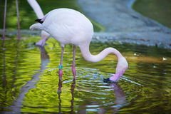 The pink flamingo in a profile in water Royalty Free Stock Photography