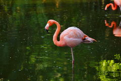 Pink flamingo in a profile Royalty Free Stock Photography