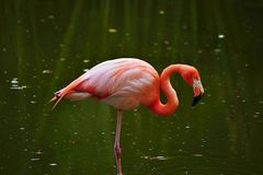 Pink flamingo in a profile Royalty Free Stock Image