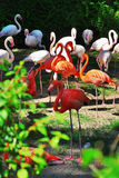 Pink Flamingo. Red and pink flamingo in a Zoo Stock Image