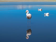 Pink Flamingo Reflection Stock Images