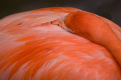 Relaxing Pink Flamingo Close-up Stock Photo