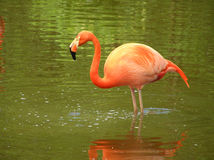 Pink Flamingo in the river Stock Photos