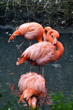 Pink flamingo on the river's water cleans its plumage Stock Image