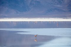 Pink Flamingo in the Salar de Surire Stock Image