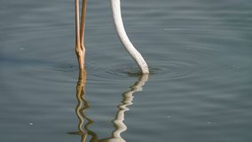 Pink flamingo searching for food in the water stock footage