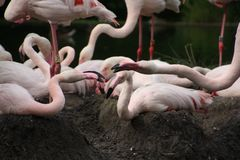 Pink flamingo sits on the nest royalty free stock photos