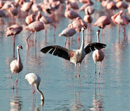 Pink flamingo spread its wings Stock Image