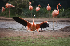 Pink flamingo with spread wings Stock Photo