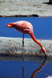 Pink flamingo standing drinking water. Pink flamingo standing drinking bluw water vertical portrait with water reflection in a summer sunny day Stock Image