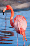 Pink flamingo. Standing near a body of water Stock Photography