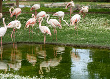 Pink flamingo standing near a pond with reflection. Stock Photos