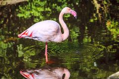 Pink Flamingo. Standing in a pond at a bird sanctuary near Plettenberg Bay, South Africa Stock Image
