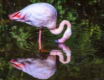 Pink Flamingo. Standing in a pond at a bird sanctuary near Plettenberg Bay, South Africa Stock Photography