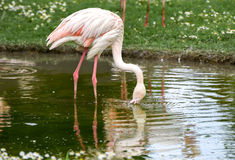 Pink flamingo standing on a pond and drinking water. Animal natural background. Royalty Free Stock Photography