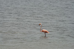 Flamingo in water Royalty Free Stock Photos