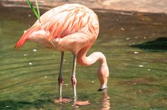 Pink Flamingo standing in the water, drinking water from a little pond, at the zoological zoo stock photos