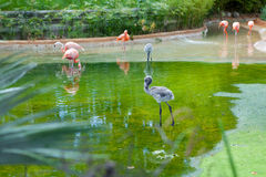 Pink flamingo standing in water with reflection Royalty Free Stock Photography