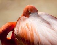 Pink Flamingo staring Stock Image