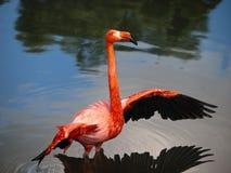 Pink flamingo streching Royalty Free Stock Photography