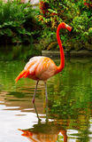 Pink flamingo . Stock Images