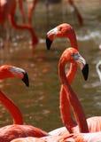 Pink Flamingo Trio Stock Photography
