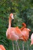 Pink flamingo - Vienna zoo. Schoenbrunn royalty free stock image