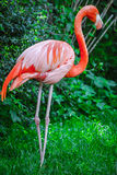 Pink Flamingo. A vivid closeup shot of a gorgeous pink flamingo Stock Image