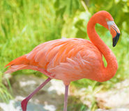 Pink flamingo walking in national park. Stock Image