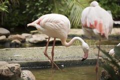 Pink flamingo walking Royalty Free Stock Images