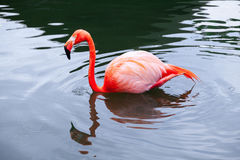 Pink flamingo walks in water with reflections Stock Images