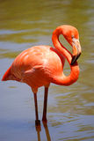 Pink flamingo in water 4 Royalty Free Stock Photo