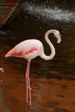 Pink flamingo. In the water Royalty Free Stock Photography