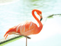 Pink flamingo with water background behind Stock Photography