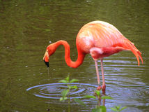 Pink Flamingo in the water Stock Photos