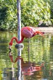 Pink flamingo water mirror. Stock Image