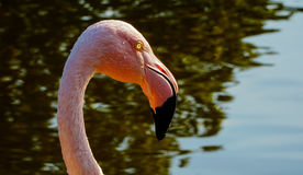 A pink flamingo in a water pond royalty free stock images