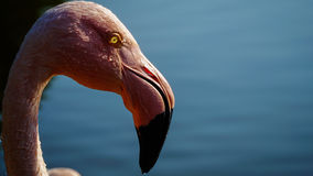 A pink flamingo in a water pond Stock Photos