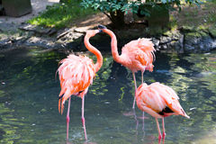 Pink Flamingo in the water Royalty Free Stock Image