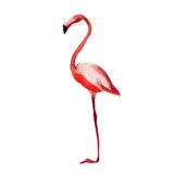 Pink flamingo, watercolor illustration isolate on white. Royalty Free Stock Photo