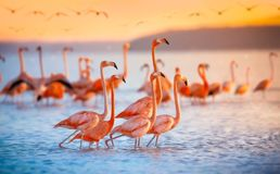 Pink flamingos in sun. Pink Flamingo in the waters at celestun mexico Stock Photos