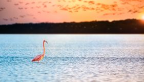 Pink flamingos in sun. Pink Flamingo in the waters at celestun mexico Stock Images