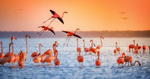 Pink flamingos in sun. Pink Flamingo in the waters at celestun mexico Royalty Free Stock Photography