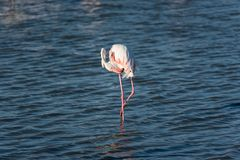 Pink flamingo in the wild. Camargue, France. Pink flamingo in the wild. Green mangroves surround a natural pond inhabited by a flock of birds royalty free stock image